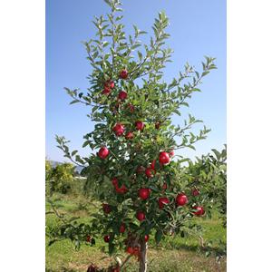 The apple tree guy apple tree pollination